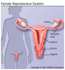 Female Reproductive System - click here to read about and view diagrams of this system.