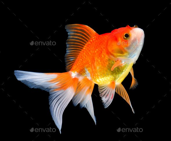 Beautiful Gold Fish On Black Goldfish Fish Sketch Fish