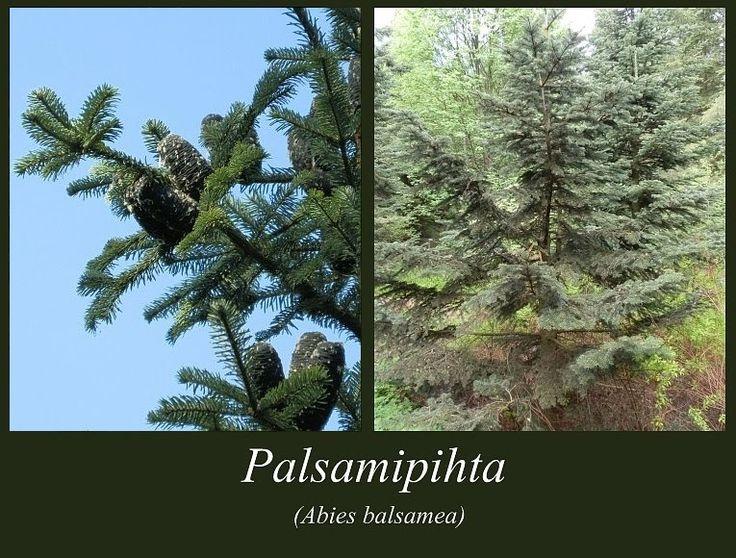Palsamipihta - puulajipuisto