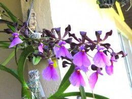 Tutaj przychodzą Wojownik Guardian Angel Orchids w życie!