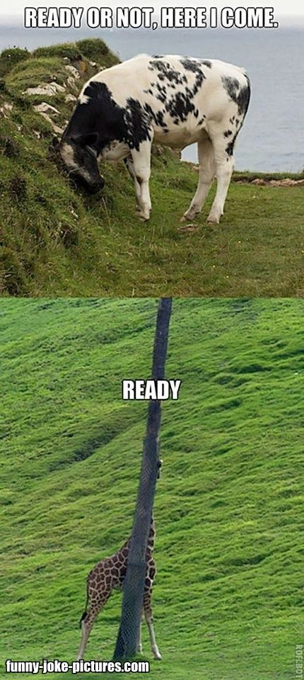 Funny Cow Giraffe Hide And Seek Picture