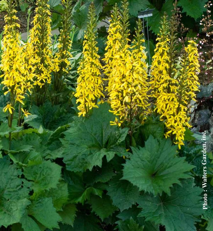 Pinterest the world s catalog of ideas for Plant with tall spikes of yellow flowers