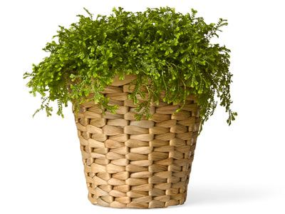 Tired of terra-cotta? Ikea's planter — woven from water hyacinth — offers an affordable alternative. It's only $5.99!Hyacinth Cachepot, Cachepot Ikea