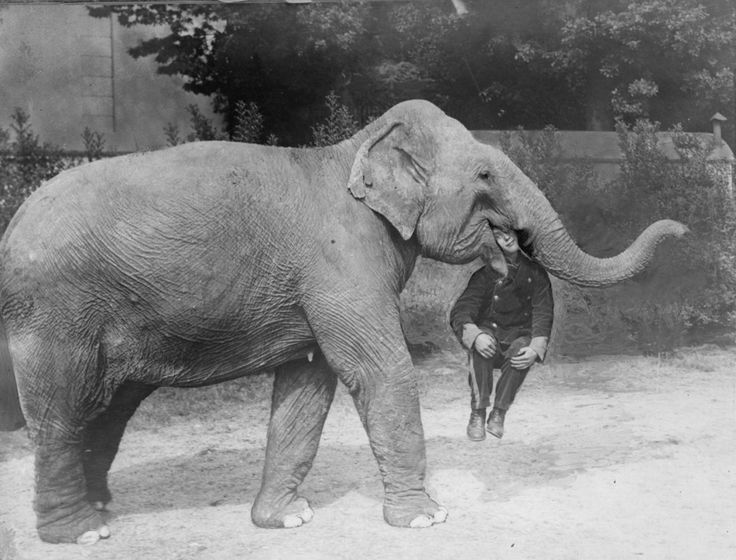 An elephant at the  Earl's Court Circus with a trainer in its mouth, 1928.
