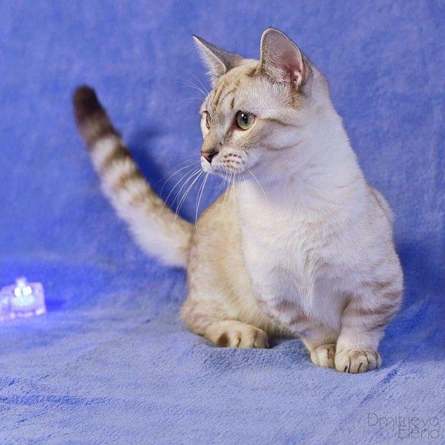 Каспер - кот манчкин. #манчкин #котэ #кот #Киса #кошкатакса #кошка #няшка #питомниккошек #питомник #cat #munchkin #munchkincat #moscow #catofinstagram