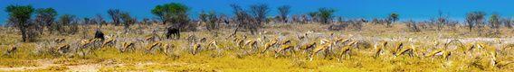 Panorama van grazende sprinkbok antilopes in Etosha Nationaal Park, Namibie