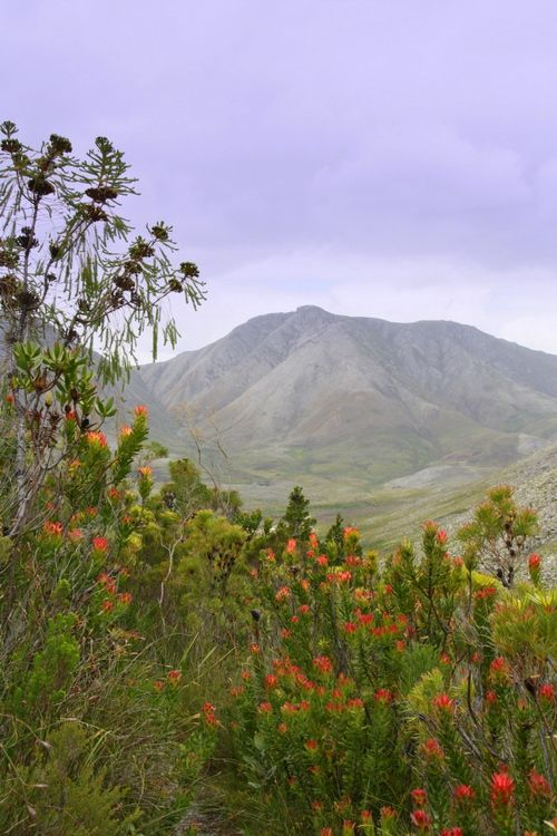 The Kogelberg Nature Reserve Is often considered the heart of the Cape Floral Region.