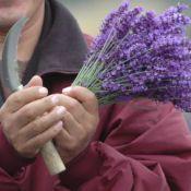 Lavendel_lavendula Onderhoud - oogsten bloemen - stekken