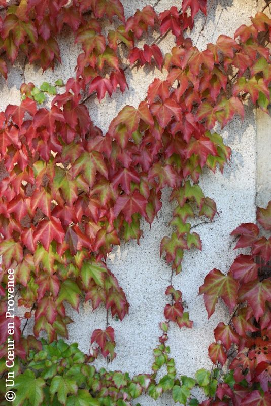 Virginia Creeper / Provence