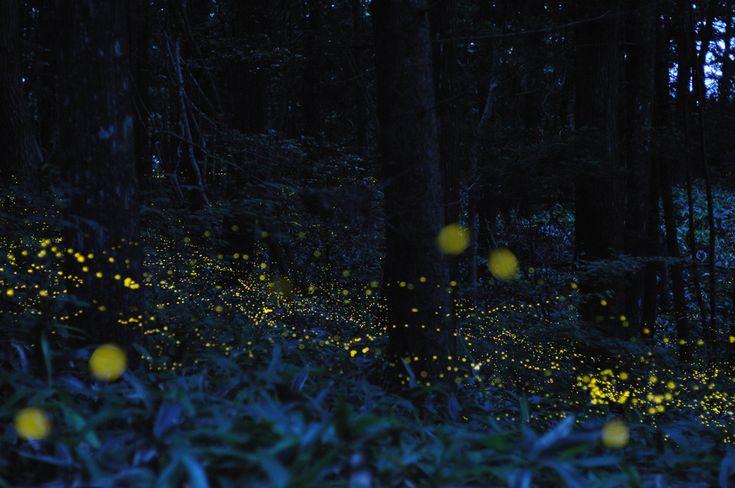 Tsuneaki Hiramatsu long exposure pictures of fireflies, so beautiful.