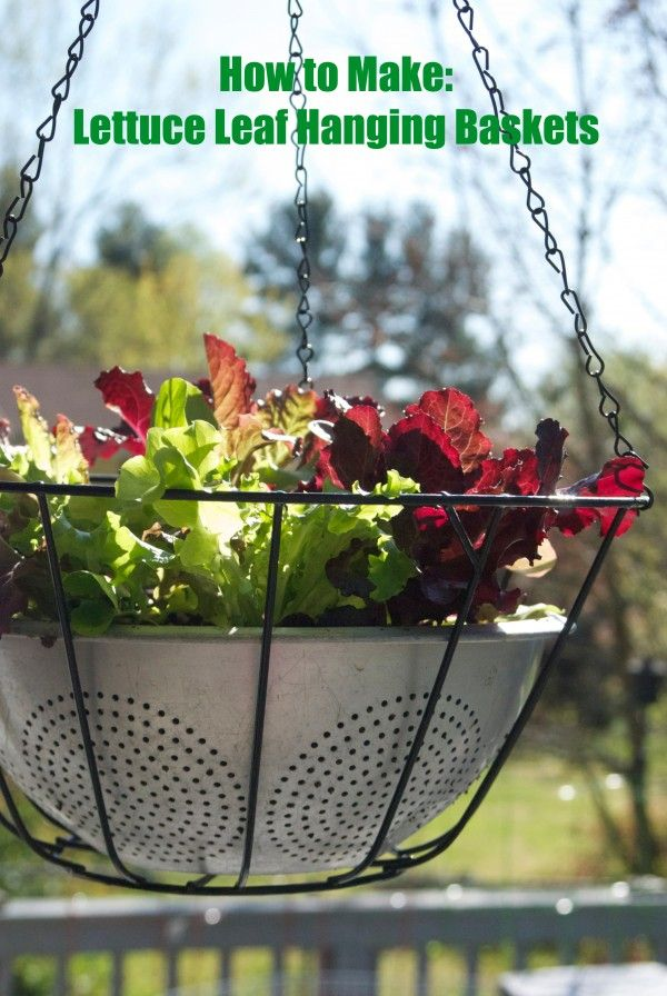 How to Make Lettuce Leaf Hanging Baskets - Clever use of a colander for drainage, and an easy way to grow your own salad!