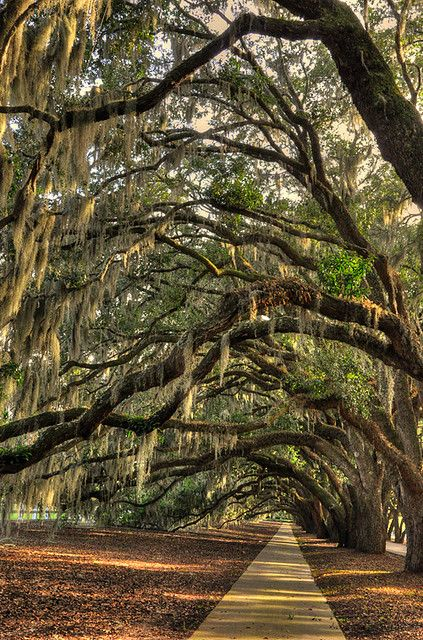 Spanish Moss. Belfair Plantation Bluffton, SC.