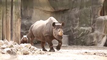 This one who hasn't quite got his swagger down yet. | 23 Baby Rhinos That Will Make You Impossibly Happy