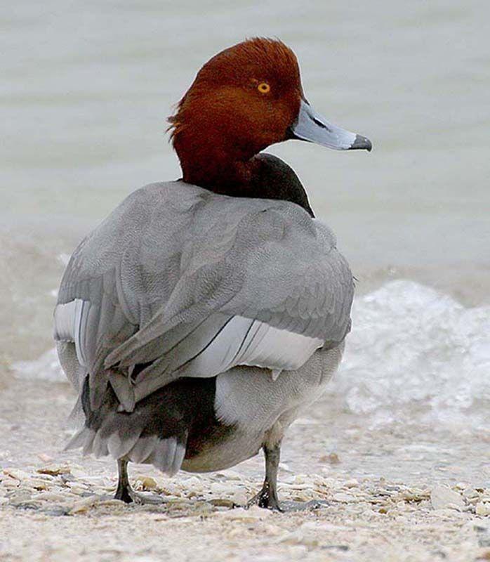 Swan Gallery Redhead