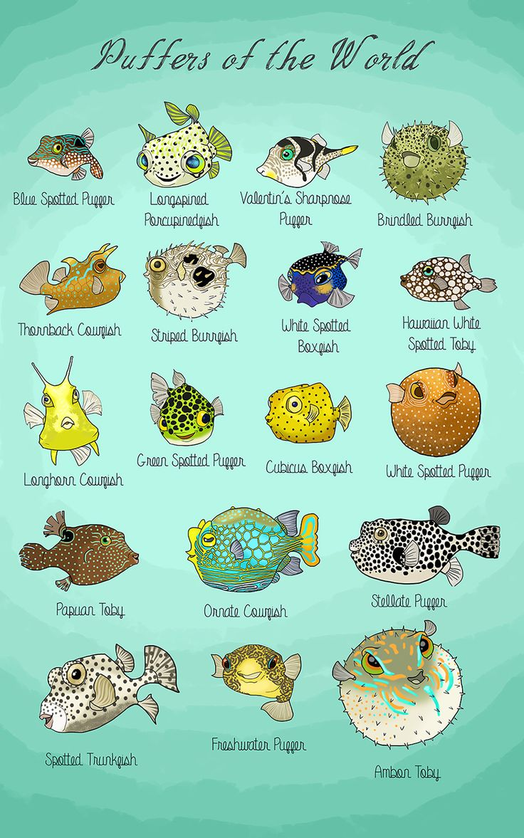 """A small study of puffer species, which, as it turns out, happily encompasses the fascinating porcupinefish, cowfish, tobies, and boxfish."""