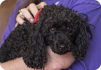 Pictures of Ebony a Miniature Poodle for adoption in Colorado Springs, CO who needs a loving home.