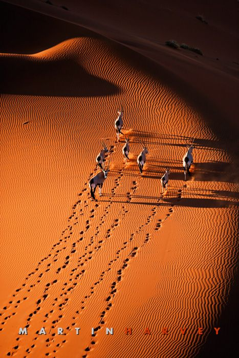Gemsbok running on dunes  Such a beautiful place...