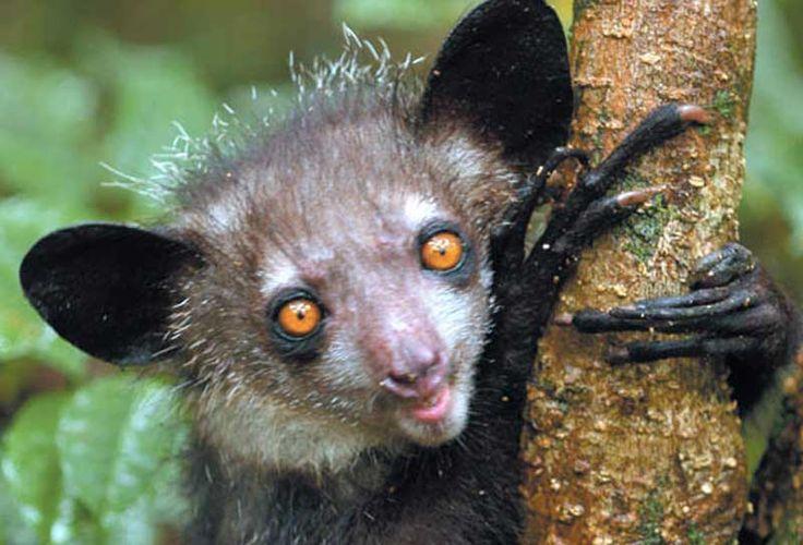 Şaşkın gözleriyle bakan küçük bir lemur türü, Aye-ayeler yüksek konsantrasyonlarda alkol içeren meyve özlerini tüketmeyi tercih ediyorlar. Detaylar ajanimo.com'da.. #ajanimo #ajanbrian #hayvan #animal