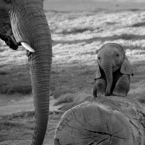 Baby Elephant on a Stump. Look at those ears! <3