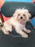 MADDIE is an adoptable Maltese Dog in Pasadena, CA.  Little Maddie is a lovely 6 month old Maltese/Poodle mix puppy. She weighs about 5 lbs. and will probably weigh around 9 lbs. when full grown. This...