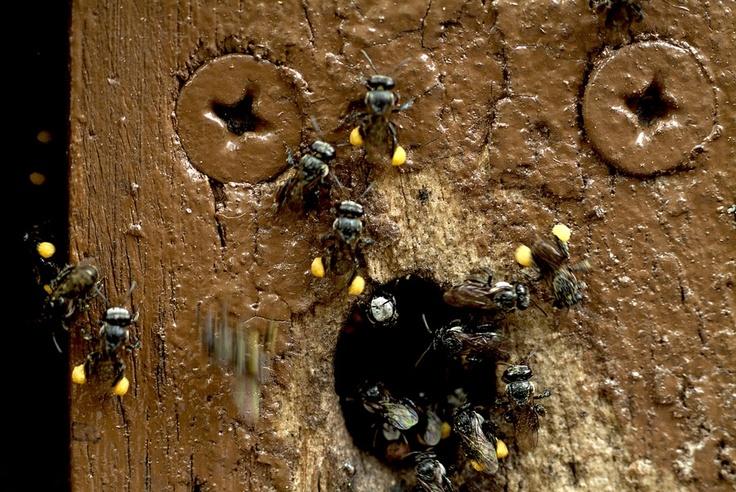 Adrian Lewis has captured #Tetragonula loaded with pollen