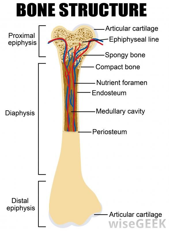 21 best images about a&p lab practical 1 on pinterest, Cephalic Vein