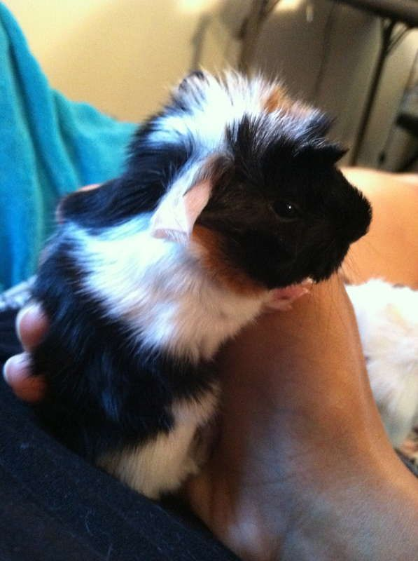 silky guinea pigs | Satin Peruvian Long Haired Guinea Pig Babies