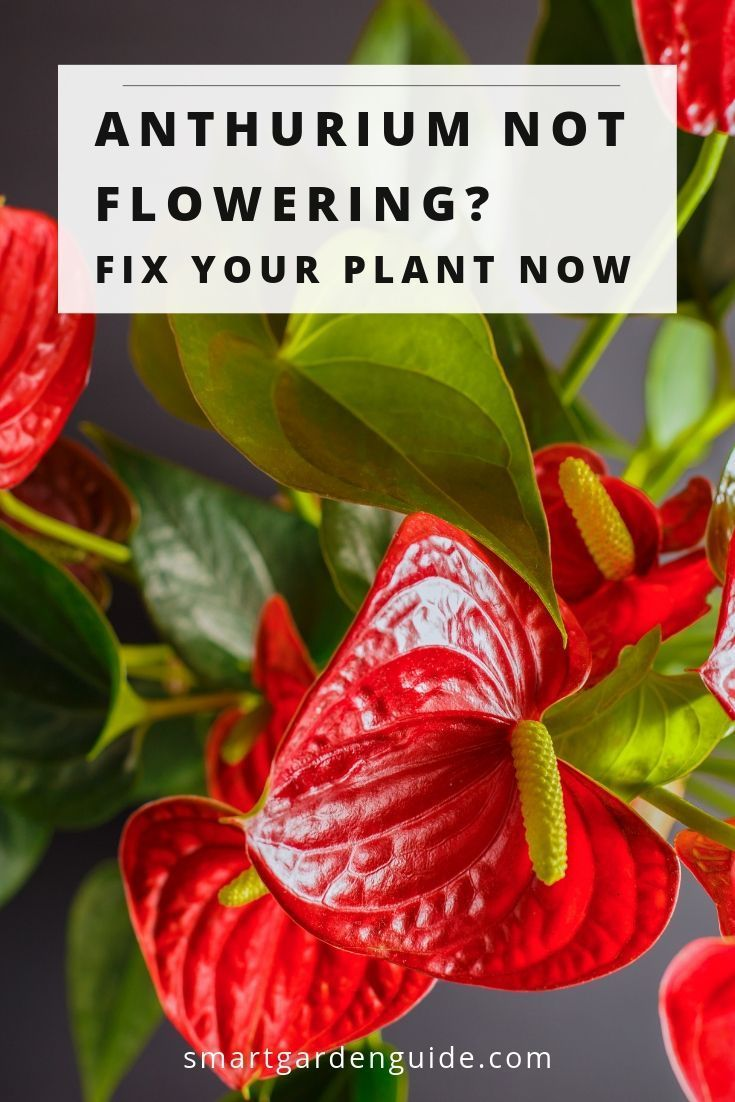 7 Ways To Make Your Anthurium Bloom If Your Flamingo Flower Isn T Blooming Try These 7 Tips To Fix Your Plant Houseplant Care Tips To Get Your Anthu Anthurium