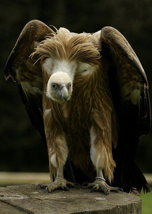 Vulture.  Ominous looking.