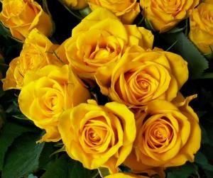 Cuál es el significado de las rosas amarillas