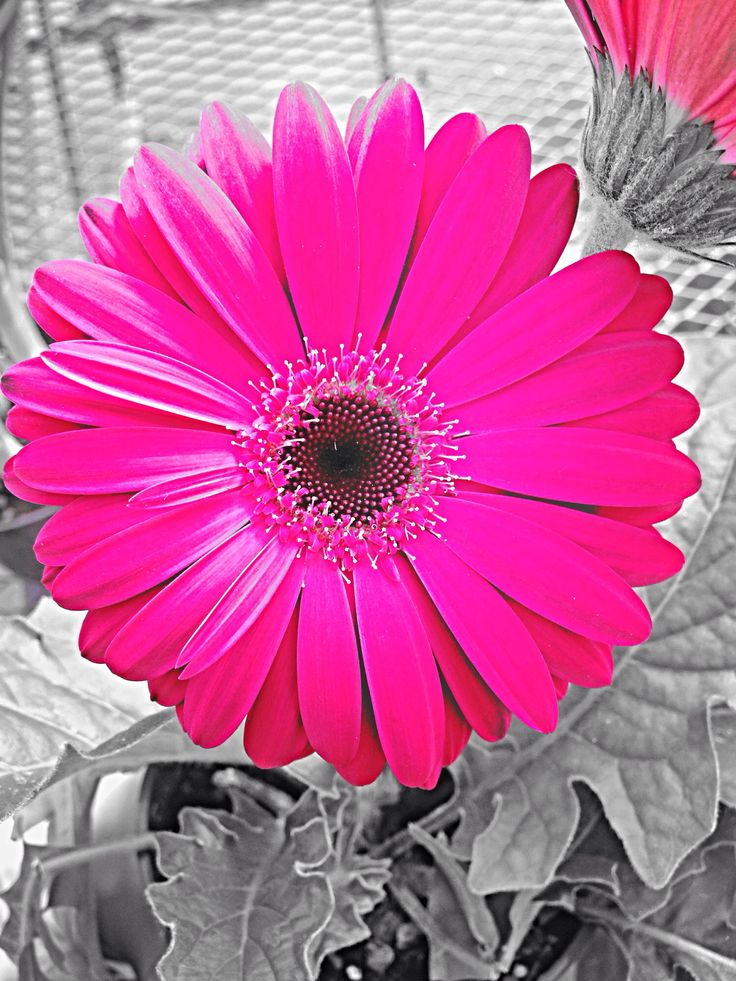 138 best images about iphone 5 wallpapers on pinterest - Gerber daisy wallpaper ...