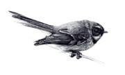 Fantail (New Zealand)