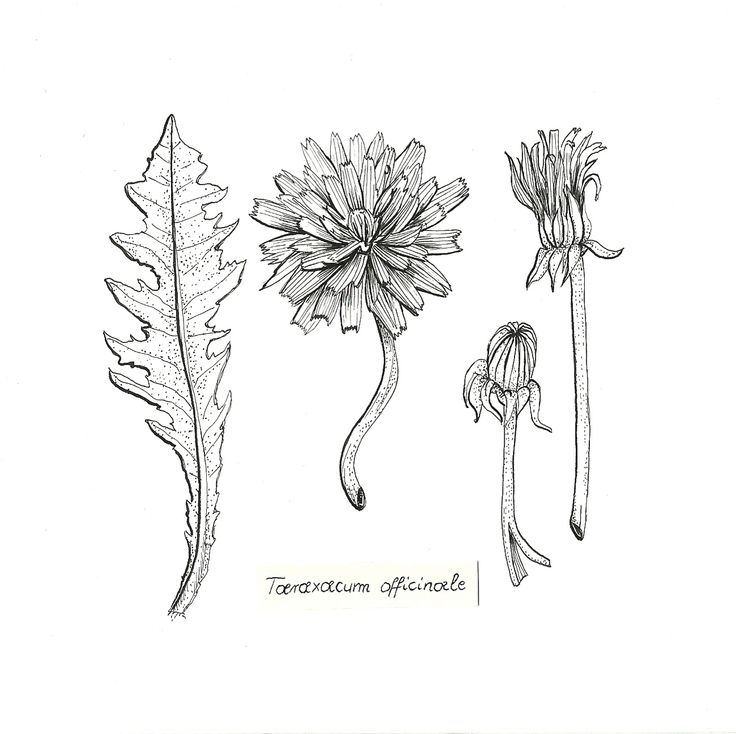 sow-thistle: