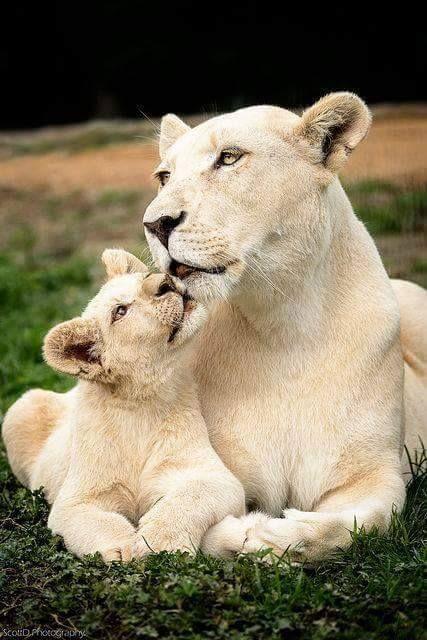 El león (Panthera leo) El león blanco es una mutación poco frecuente de color en el área de Timbavati. Los leones blancos son los mismos leones africanos rojizos (Panthera leo krugeri). Se encuentra ocasionalmente en las reservas naturales de África del Sur, y se cría selectivamente en muchos zoológicos del mundo entero. Según las creencias africanas, este animal es divino y si se cruza en tu camino da felicidad.