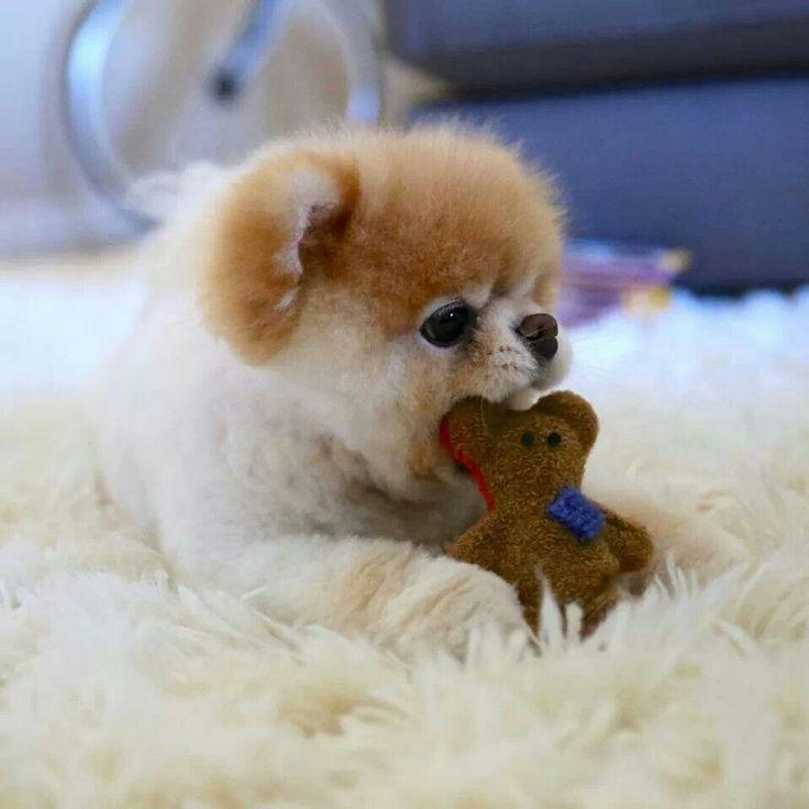Lil Pom with Lil Bear!
