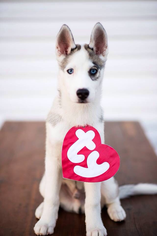 Halloween Costumes Ideas For Babies: Ty Beanie Baby Husky Halloween Dog Costume