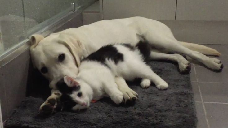 Banjo the White Labrador Puppy and rescue kitten making friends