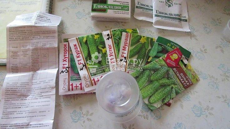 Проращивание семян огурцов