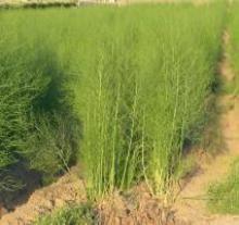 17 Best Images About Asparagus Sp Plant On Pinterest 400 x 300