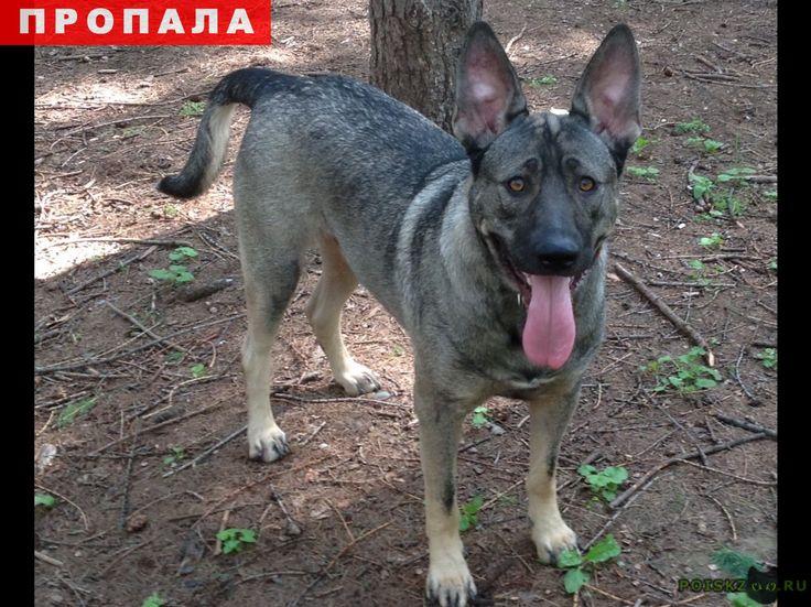 Пропала собака кобель в микр.серебрянка, метис г.Пушкино http://poiskzoo.ru/board/read24100.html  POISKZOO.RU/24100 .., в..часа убежал кобель породы метис. Был напуган взрывами фейерверков.   РЕПОСТ! @POISKZOO2 #POISKZOO.RU #Пропала #собака #Пропала_собака #ПропалаСобака #Пушкино
