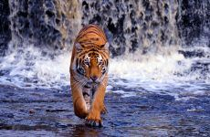 Tiger Wallpaper 3d Wallpaper Background for HD Wallpaper Desktop 1920x1080 px 586.37 KB