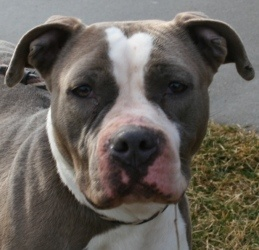 Beautiful Steele needs a home.  She is a good girl who likes other dogs and humans.  She is sweet!