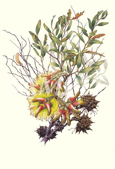 Eucalyptus conferruminata | Philippa Nikulinsky