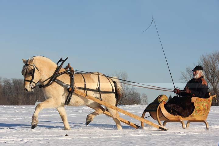 Fjord horse drawn beautifully carved wooden sleigh :) :) :)