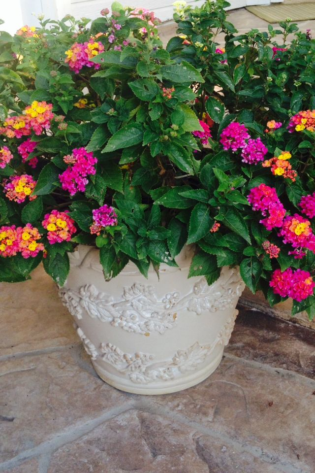 Lantana, A Good Patio Plant For Summertime Heat