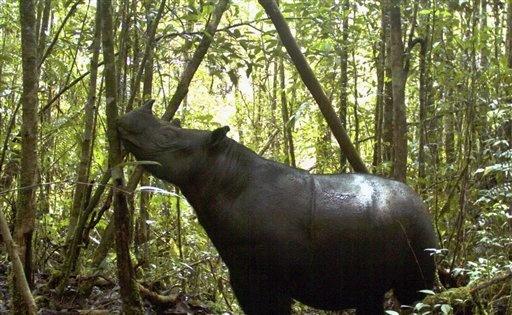 Sumatran Rhino at Gunung Leuser National Park in Aceh province, Indonesia (photo by Leuser international Foundation)