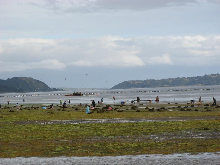 Recogiendo Pelillo durante la Marea baja en San Juan - Chiloe