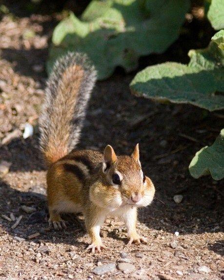 Cute Chipmunk med en mundfuld af fr�