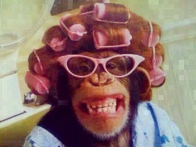 Smiling Monkey Chimpanzee Win Pink Hair Rollers Curlers