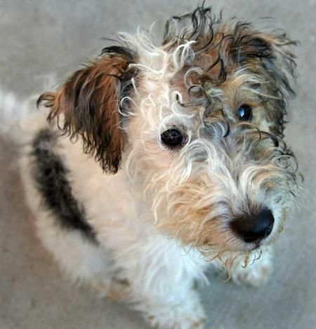 Iago the Fox Terrier -watch out Othello,he's after you !